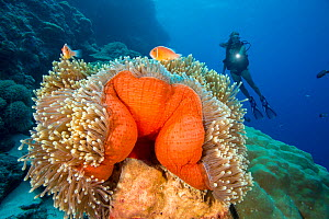 Diver and common anemonefish (Amphiprion perideraion) associated with the anemone (Heteractis magnifica) as pictured here. Yap, Micronesia. Model released.  -  David Fleetham