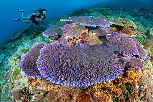 Purple hard coral (Acropora sp) dominates this reef scene with a diver, Komodo Island, Indonesia. Model released.  -  David Fleetham