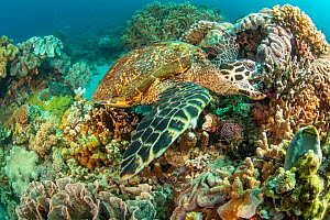 Hawksbill turtle (Eretmochelys imbricata), takes a bite out of the coral reef, Philippines, Pacific Ocean. Critically endangered  -  David Fleetham