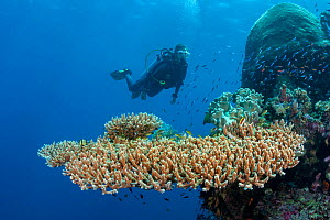 Diver and table coral (Acropora hyacinthus) off a wall. Raja Ampat.Indonesia. Model released.  -  David Fleetham