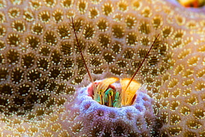 Coral hermit crab (Paguritta vittata) living in hole in hard coral, traps passing plankton in its feathery antennae, Yap, Federated States of Micronesia.  -  David Fleetham