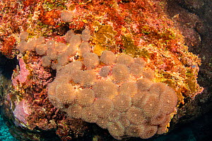 Corallimorphs sometimes known as Disc anemones (Rhodactis rhodostoma) live in colonies and possess symbiotic algae, Yap, Federated States of Micronesia.  -  David Fleetham