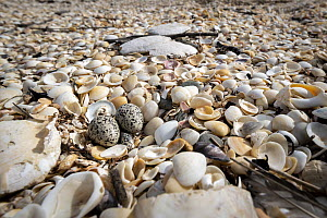 Two eggs of the threatened Hooded plover (Thinornis rubricollis) on a beach. Skenes Creek, Victoria, Australia. Taken under the supervision of Hooded plover monitoring volunteer and ex Parks officer....  -  Doug Gimesy