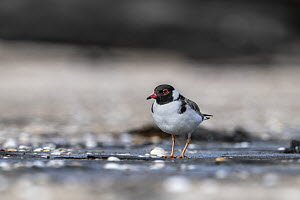Hooded plover (Thinornis rubricollis) walking on a beach looking for food. Taken under the supervision of Hooded plover nest monitor volunteer and ex Parks officer. Skenes Creek, Victoria, Australia  -  Doug Gimesy