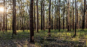 Tomalpin Woodlands (on Mindaribba land across from 'Hunter Economic Zone') showing some signs of previous fires. Lower Hunter Valley, NSW, Australia June 2020. Property released.  -  Doug Gimesy