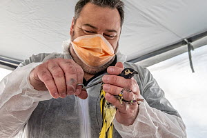 Captive bred Regent Honeyeater (Anthochaera phrygia) has a radio transmitter attached by Dean Ingwersen in a processing tent at their release site. Staff are wearing Covid-19 PPE. Lower Hunter Valley,...  -  Doug Gimesy