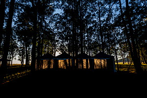 Sunrise illuminate three tents that have been set up to house captive bred Regent Honeyeaters (Anthochaera phrygia) for several days to allow them to acclimatise before being released back into the wi...  -  Doug Gimesy