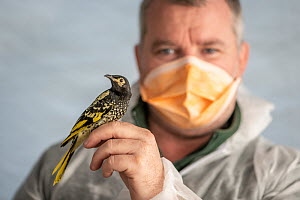 Michael Shiels, Unit supervisor, Bird Department, Taronga Zoo Sydney, holds captive bred Regent Honeyeater (Anthochaera phrygia) in a processing tent just before it is weighed and has a radio transmit...  -  Doug Gimesy