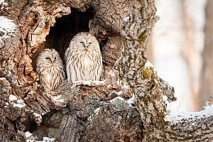 Ural Owl (Strix uralensis), pair roosting in tree hole during the day, Hokkaido, Japan. February  -  Guy Edwardes
