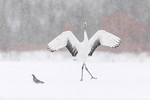 Red-crowned crane (Grus japonensis) juvenile playing with and chasing pigeon, Hokkaido,Japan. February  -  Guy Edwardes