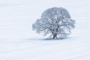 Lone Sweet Chestnut (Castanea sativa) in snow-covered field, Keysely Down, Wiltshire, England, UK. January  -  Guy Edwardes