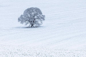 Lone Sweet Chestnut tree (Castanea sativa) in snow-covered field, Keysely Down, Wiltshire, England, UK. January 2021  -  Guy Edwardes
