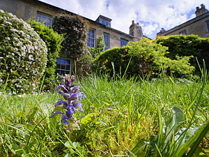 Bugle (Ajuga reptans) and Common daisies (Bellis perennis) in a garden lawn left unmown to allow wild flowers to bloom to support pollinating insects, Wiltshire, UK, May.  -  Nick Upton