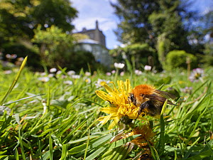Common carder bumblebee (Bombus pascuorum) nectaring on a Dandelion (Taraxacum officinale) flowerhead among many Common daisies (Bellis perennis) on a lawn left unmown to allow wild flowers to bloom t...  -  Nick Upton