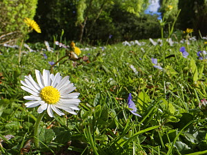 Dandelions (Taraxacum officinale), Common daisies (Bellis perennis) and Germander speedwell (Veronica chamaedris) flowering in a garden lawn left unmown to allow wild flowers to bloom to support polli...  -  Nick Upton
