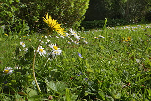 Dandelion (Taraxacum officinale) and Common daisies (Bellis perennis) flowering on a garden lawn left unmown to allow wild flowers to bloom to support pollinating insects, Wiltshire, UK, May.  -  Nick Upton