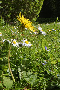 Dandelion (Taraxacum officinale) and Common daisies (Bellis perennis) flowering in a garden lawn left unmown to allow wild flowers to bloom to support pollinating insects, Wiltshire, UK, May.  -  Nick Upton