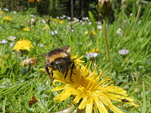 Early bumblebee (Bombus pratorum) visiting a Dandelion (Taraxacum officinale) flowerhead among many Common daisies (Bellis perennis) on a garden lawn left unmown to allow wild flowers to bloom to supp...  -  Nick Upton