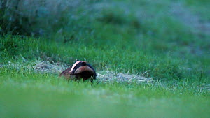 European badger (Meles meles) standing in grass looking at camera before running out of view, North Somerset, England, UK, August.  -  Neil Aldridge