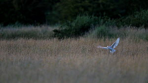 Barn owl (Tyto alba) flying up from grass after an unsucessful hunt, North Somerset, England, UK, June.  -  Neil Aldridge