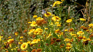 Slider shot of Ragwort flowers (Senecio jacobaea) in field margin with butterfly and other insects feeding, Somerset, England, UK, September.  -  Neil Aldridge