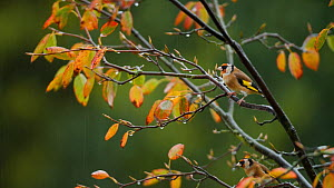 Two European goldfinches (Carduelis carduelis) perched in a tree before leaving, Somerset, England, UK, October.  -  Neil Aldridge
