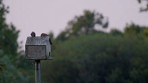 Common kestrel (Falco tinnunculus) sitting on roof of a nest box is joined by another, Somerset, England, UK, June.  -  Neil Aldridge
