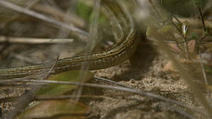 Close up shot of male Sand lizard (Lacerta agilis) tail before it turns around to face camera and then runs out of frame, Dorset, England, UK, May.  -  Neil Aldridge