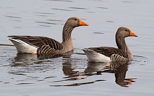 Greylag geese (Anser anser) pair swimming on the river. Warkworth, Northumberland, England, UK. March  -  Roger Powell