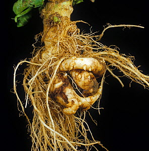 Clubroot (Plasmodiophora brassica) diseased twisted, malformed and distorted root on a cabbage plant  -  Nigel Cattlin