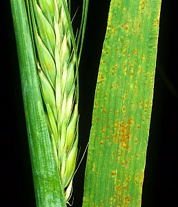 Brown rust (Puccinia hordei) pustules of infection on barley flag leaf from crop plant in ear  -  Nigel Cattlin