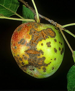 Apple scab (Venturia inaequalis) lesions and cracking on ripe on apple fruit, New York State, USA, September  -  Nigel Cattlin