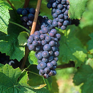 Mature bunch of red Pinot Noir grapes on the vine in a Champagne Region vineyard, France,  -  Nigel Cattlin