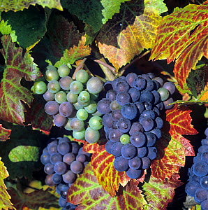 Leaves reddening, and fruit bunch of a Pinot Noir grapes on the grapevine in the Champagne Region of France  -  Nigel Cattlin