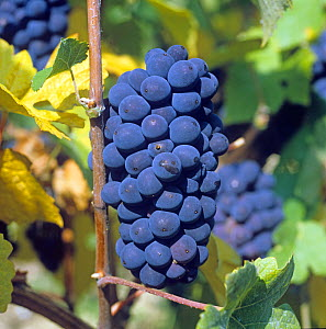 Mature bunch of red Pinot Meunier grapes on the vines with leaves turning in a Champagne Region vineyard, France  -  Nigel Cattlin