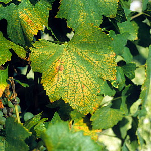 Two-spotted spider mite (Tetranychus urticae) bronzing effect of grazing damage by mites on grapevine leaves, Champagne Region, France,  -  Nigel Cattlin