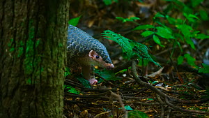 Rescued Chinese pangolin (Manis pentadactyla) . A series of conservation efforts are underway to save the last remaining wild populations in China  -  Dong Lei