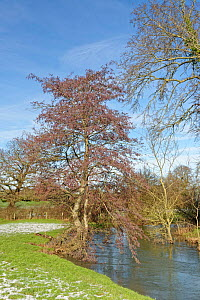 Common alder (Alnus glutinosa) tree with many catkins beside the Bybrook River in winter, near Box, Wiltshire, UK, January 2021.  -  Nick Upton