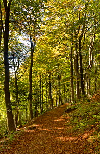 Footpath through deciduous woodland in Woodchester Park, near Stroud, Gloucestershire, UK, October 2020.  -  Nick Upton