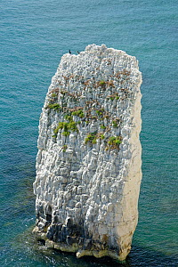Great cormorants (Phalacrocorax carbo) perched on one of the Pinnacles at Handfast Point, Swanage, Dorset, UK, August.  -  Nick Upton