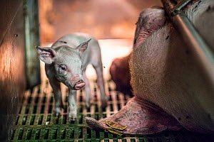 One piglet from a large litter looks around her small crate as her mother lies immobile beside her. Sows are kept in gestation crates and then farrowing crates in industrial farms, which is the standa...  -  Jo-Anne McArthur / We Animals