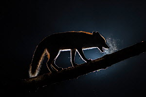 Female Red fox (Vulpes vulpes) with breath condensing in cold air at night, walking along tree trunk, Vertes Mountains, Hungary.  -  Milan Radisics