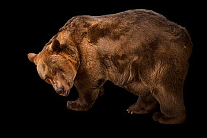 A European brown bear (Ursus arctos arctos) at Plzen Zoo in the Czech Republic. This is a male, age 40, named Pista. His parents were wild caught in Romania.  -  Joel Sartore / Photo Ark