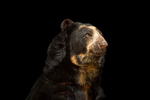Spectacled bear (Tremarctos ornatus) named Billy at Parque Jaime Duque near Bogota, Colombia. Vulnerable species.  -  Joel Sartore / Photo Ark