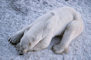 An extremely skinny adult male polar bear (Ursus maritimus), with several scars on his head, lies on the bare frozen ground near the edge of Hudson Bay. There was no sea ice in the bay since July, so...  -  Jenny E. Ross