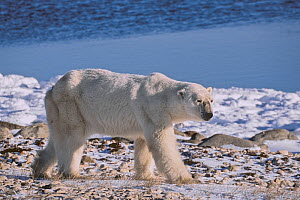 Very thin adult male Polar bear (Ursus maritimus) walking along the shore of Hudson Bay in early November. There was no sea ice in the bay since July, so bears were unable to hunt for seals. Western H...  -  Jenny E. Ross