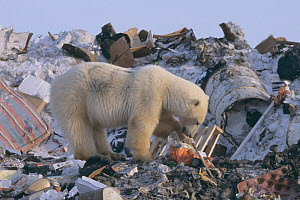 Polar bear (Ursus maritimus) foraging at garbage dump, Churchill, Manitoba, Canada October 2003. The polar bears are unable to hunt for several months due to absence of ice in the region, which is nee...  -  Jenny E. Ross