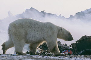 Polar bear (Ursus maritimus) foraging at garbage dump, Churchill, Manitoba, Canada. October 2003. The polar bears are unable to hunt for several months due to absence of ice in the region, which is ne...  -  Jenny E. Ross