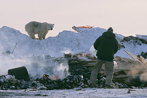 Polar bear (Ursus maritimus) sub adult watching man at garbage dump, Churchill, Manitoba, Canada. October 2003. The polar bears are unable to hunt for several months due to absence of ice in the regio...  -  Jenny E. Ross