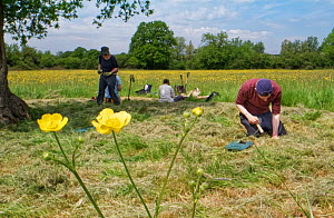 Wiltshire Wildlife Trust volunteers planting Devil's bit scabious (Succisa pratensis) plant plugs in a mown patch of a formerly farmed meadow with many flowering Meadow buttercups (Ranunculus acri...  -  Nick Upton